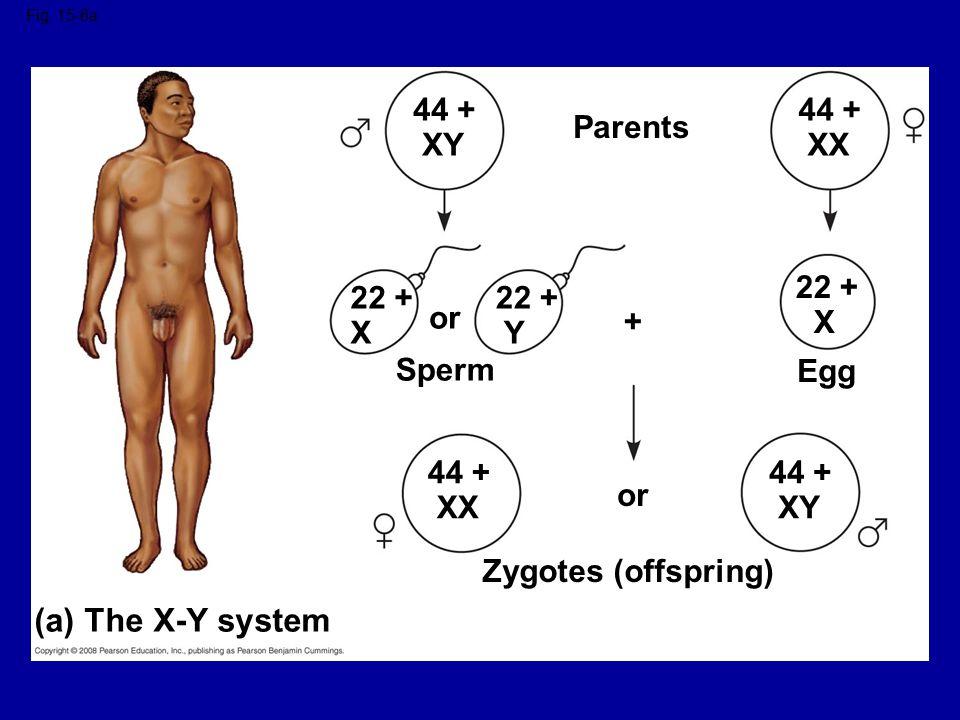 (a) The X-Y system 44 + XY 44 + XX Parents 22 + X 22 + X 22 + Y or +