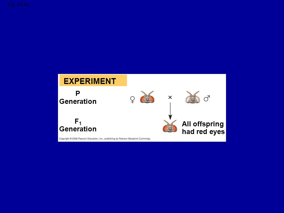EXPERIMENT P  Generation F1 All offspring Generation had red eyes