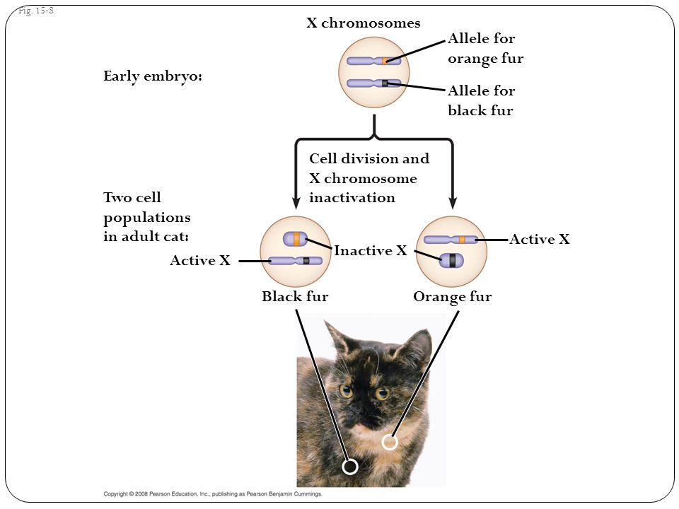 X chromosomes Allele for orange fur Early embryo: Allele for black fur