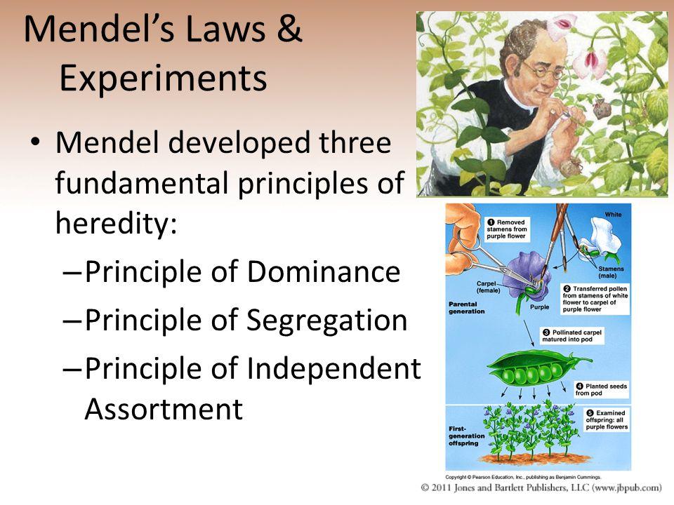 Mendel's Laws & Experiments
