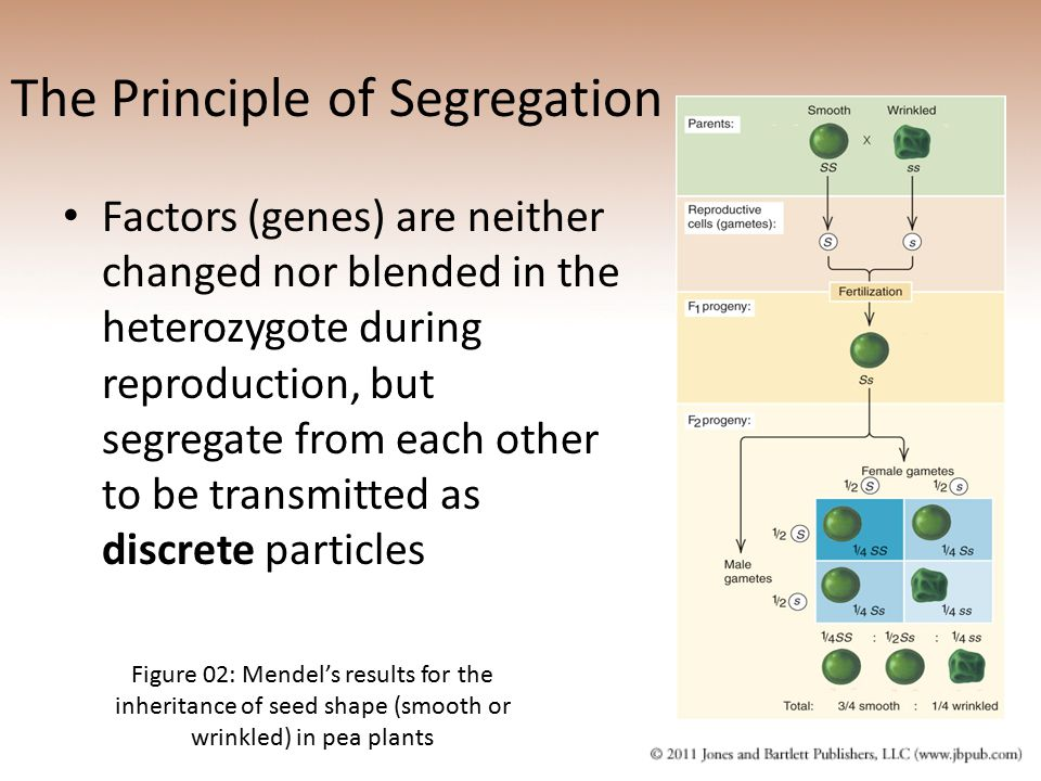 The Principle of Segregation