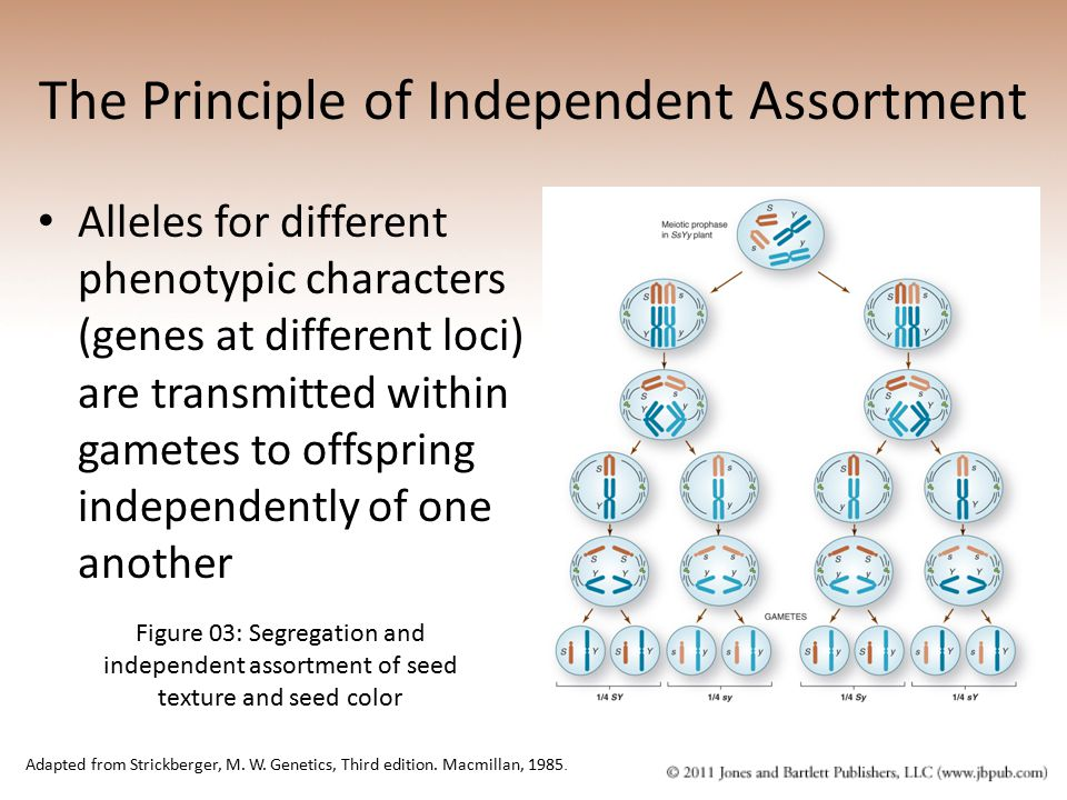 The Principle of Independent Assortment