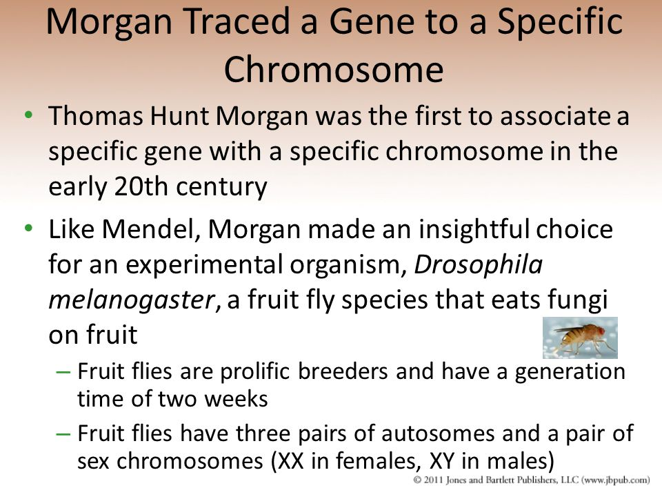 Morgan Traced a Gene to a Specific Chromosome