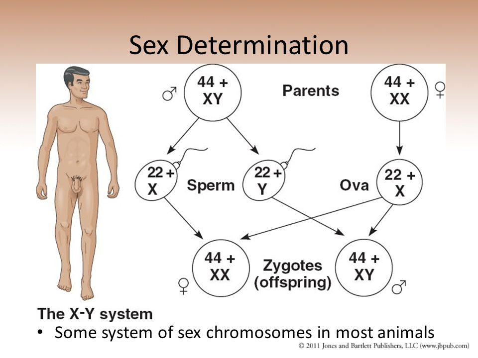 Sex Determination Some system of sex chromosomes in most animals