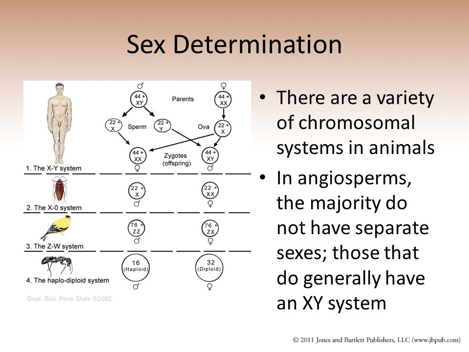 Sex Determination There are a variety of chromosomal systems in animals.
