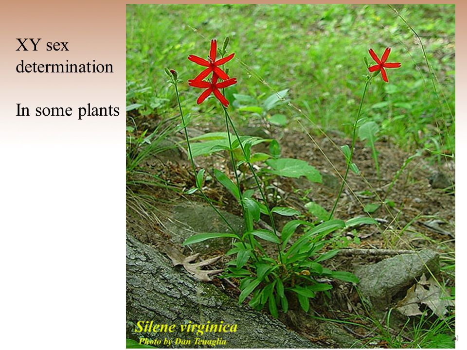 XY sex determination In some plants