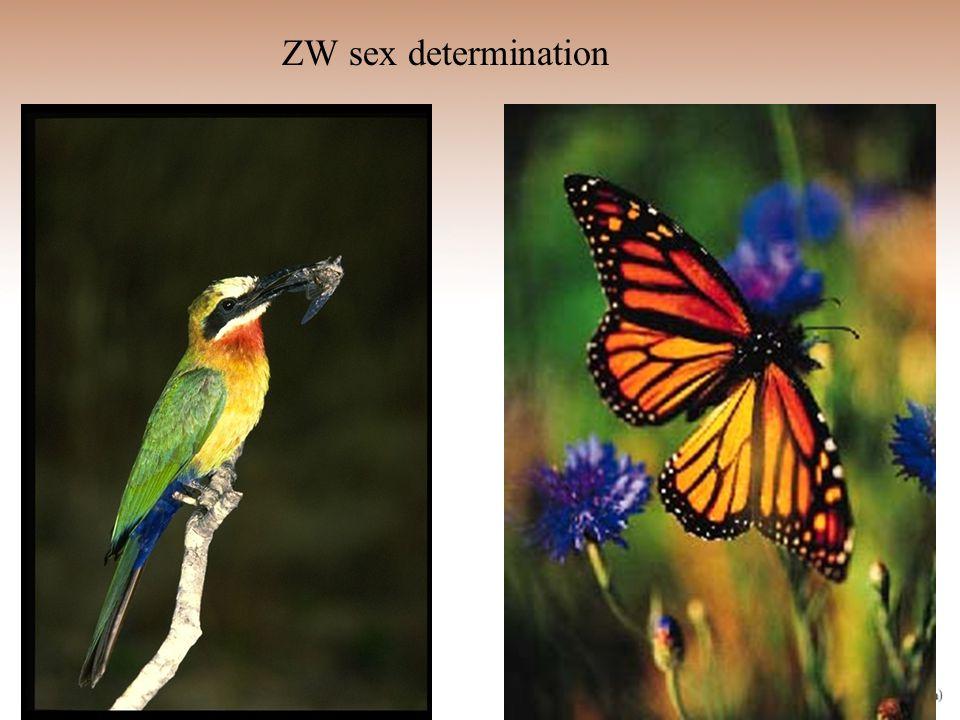 ZW sex determination