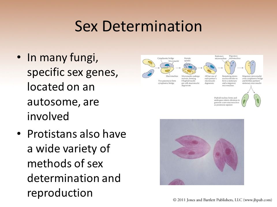 Sex Determination In many fungi, specific sex genes, located on an autosome, are involved.