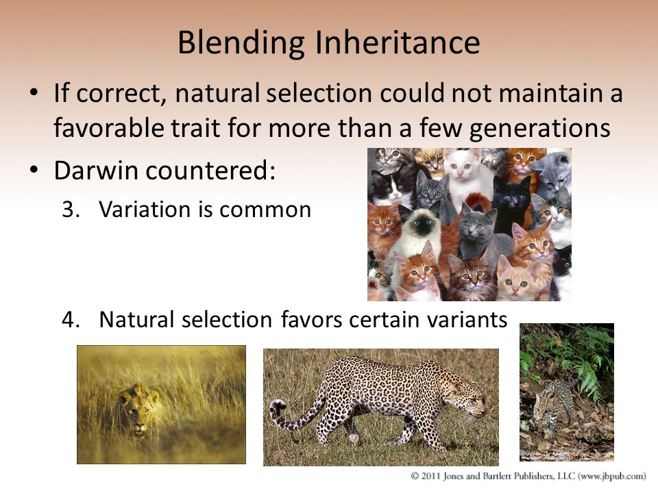 Blending Inheritance If correct, natural selection could not maintain a favorable trait for more than a few generations.