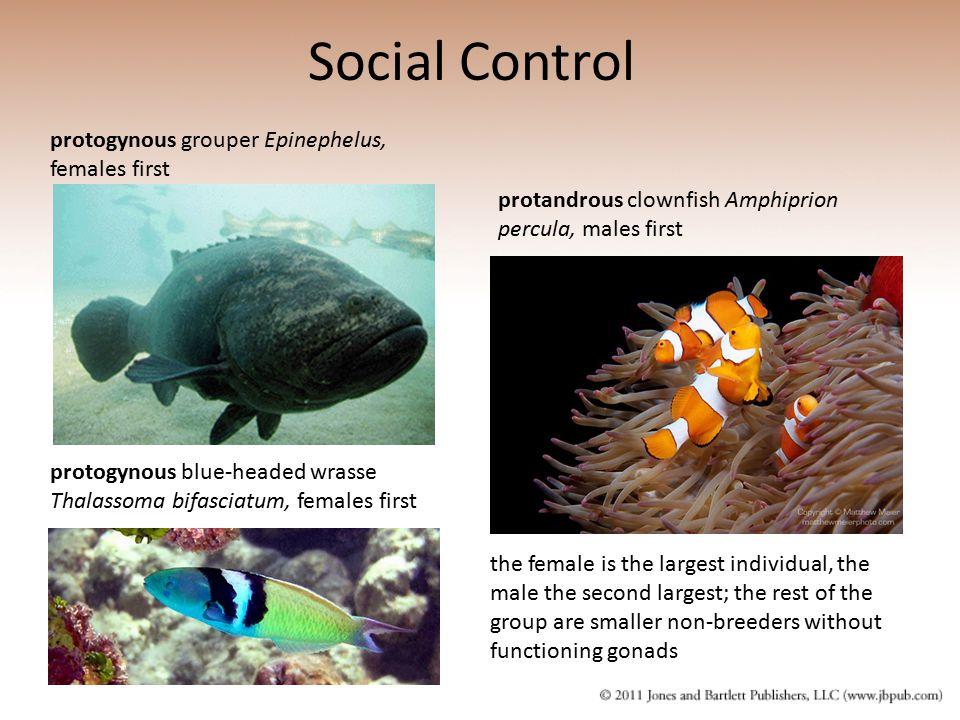 Social Control protogynous grouper Epinephelus, females first