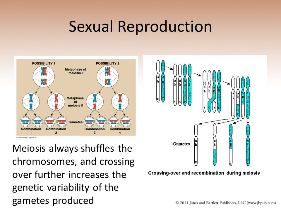 Sexual Reproduction Meiosis always shuffles the chromosomes, and crossing over further increases the genetic variability of the gametes produced.