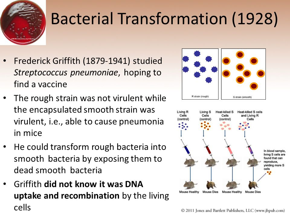 Bacterial Transformation (1928)