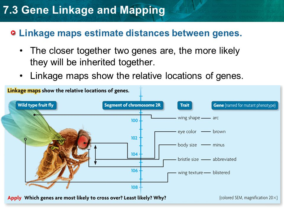 Linkage maps estimate distances between genes.