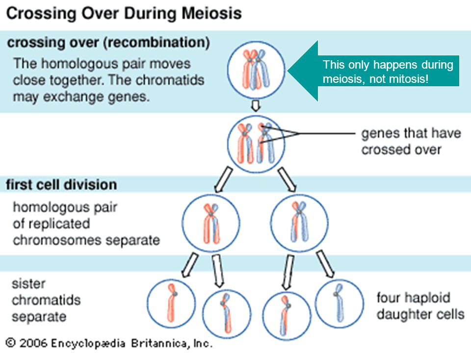 This only happens during meiosis, not mitosis!