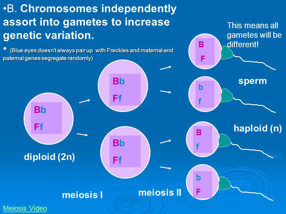 B. Chromosomes independently assort into gametes to increase genetic variation.