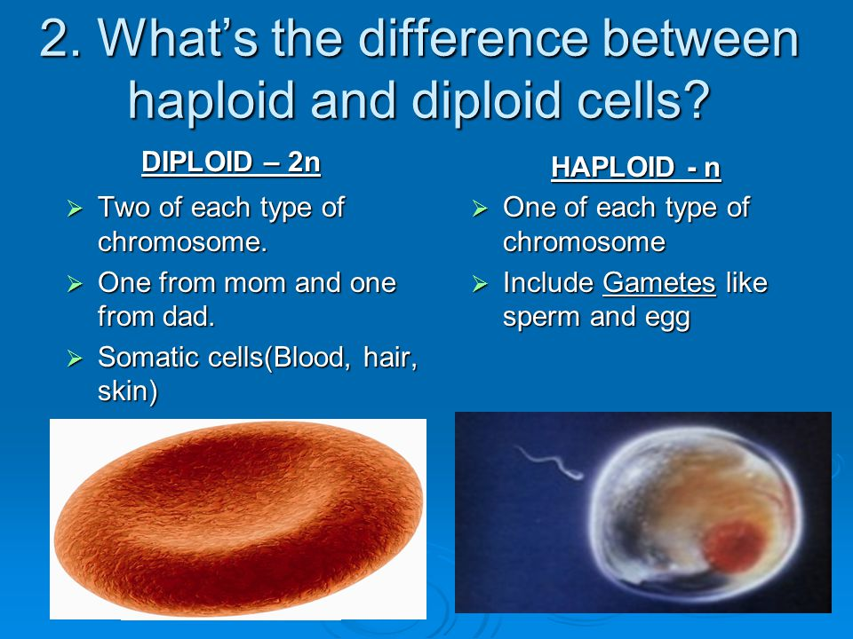 2. What's the difference between haploid and diploid cells