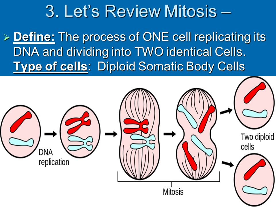 3. Let's Review Mitosis –
