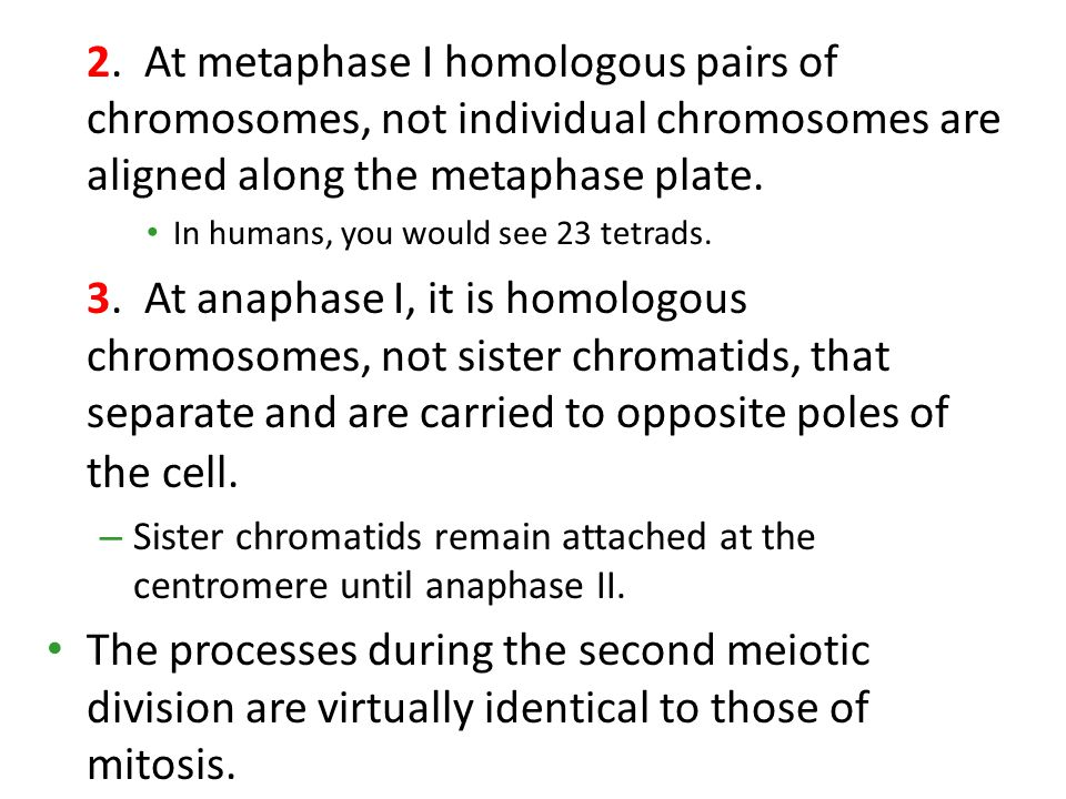 2. At metaphase I homologous pairs of chromosomes, not individual chromosomes are aligned along the metaphase plate.