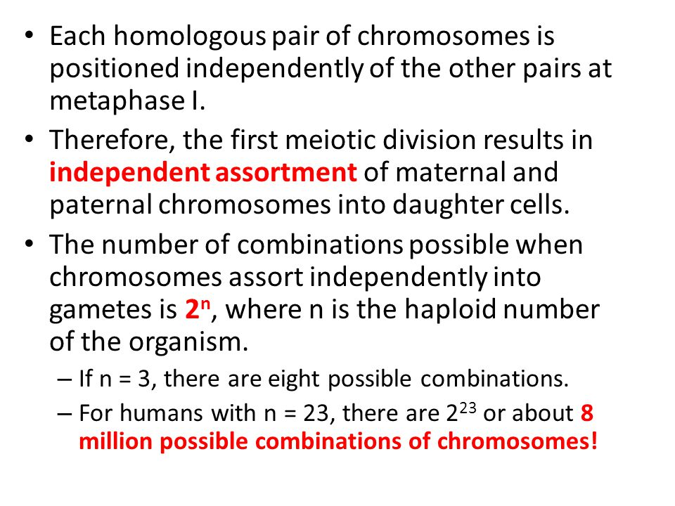 Each homologous pair of chromosomes is positioned independently of the other pairs at metaphase I.