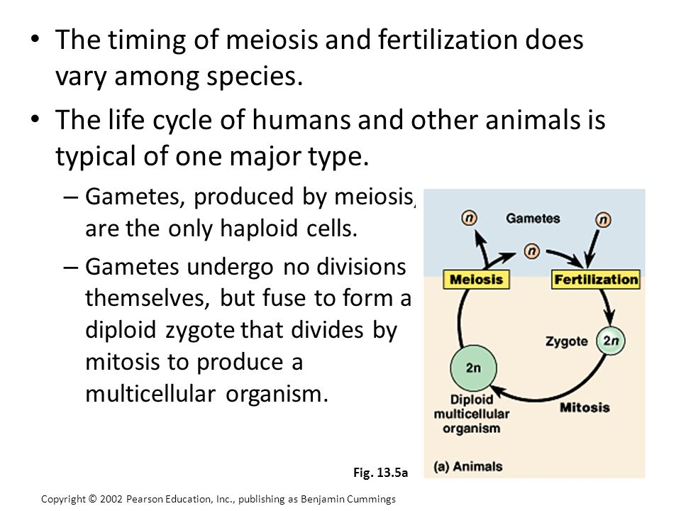 The timing of meiosis and fertilization does vary among species.