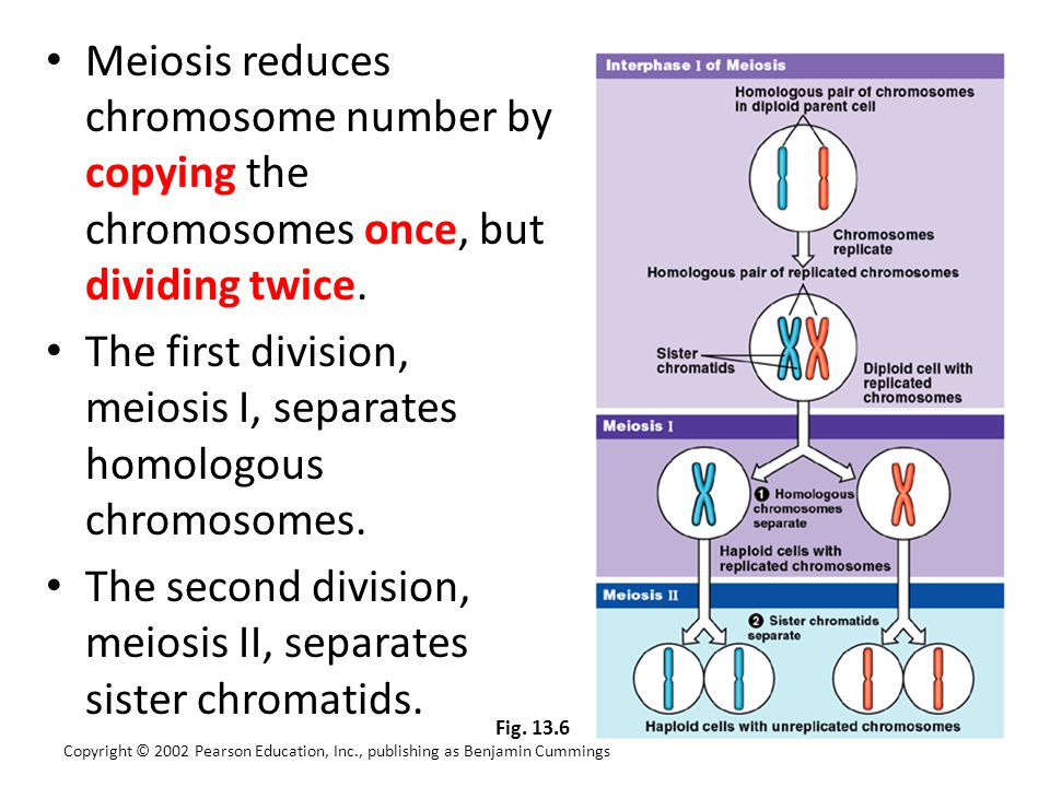 The first division, meiosis I, separates homologous chromosomes.