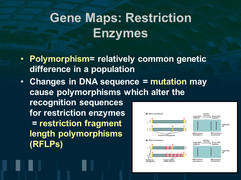 Gene Maps: Restriction Enzymes