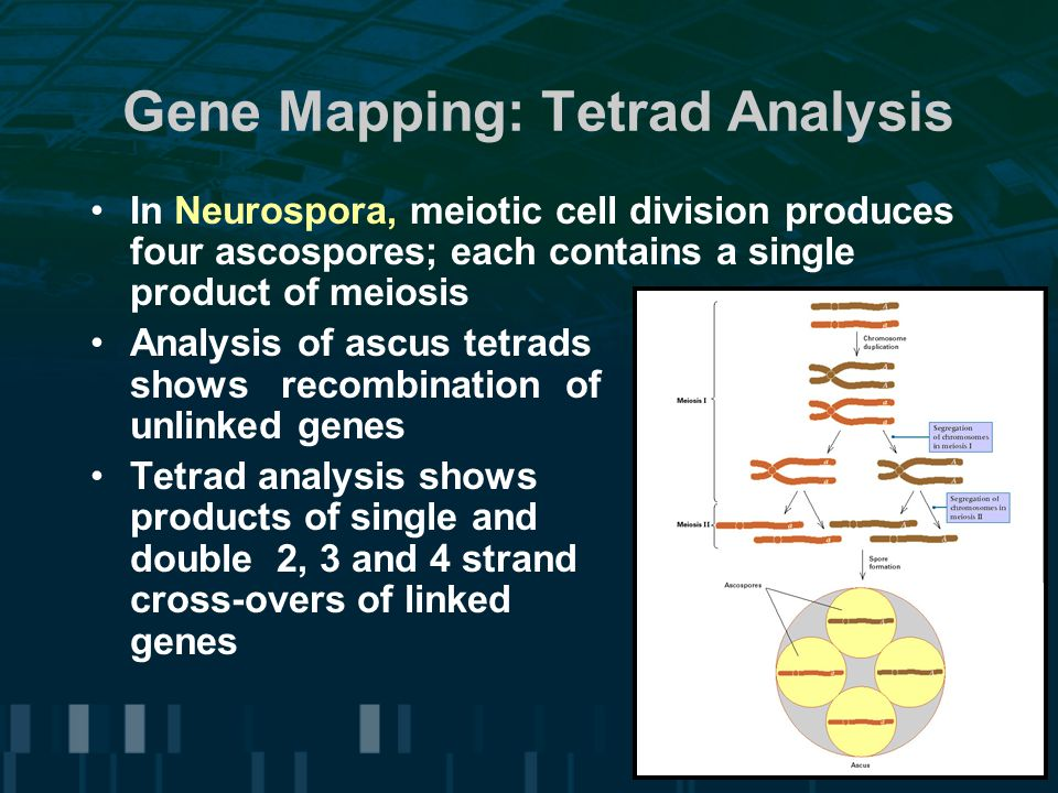 Gene Mapping: Tetrad Analysis