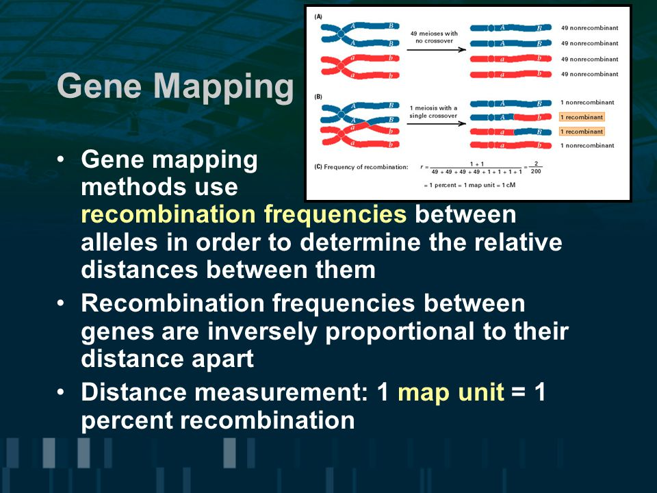 Gene Mapping Gene mapping methods use recombination frequencies between alleles in order to determine the relative distances between them.