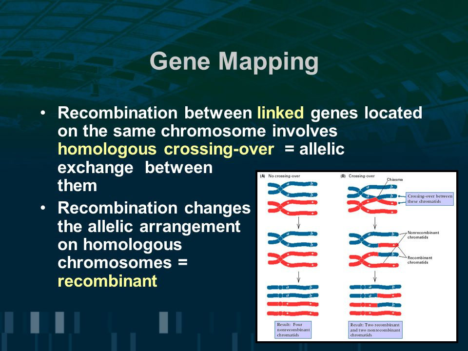 Gene Mapping Recombination between linked genes located on the same chromosome involves homologous crossing-over = allelic exchange between them.