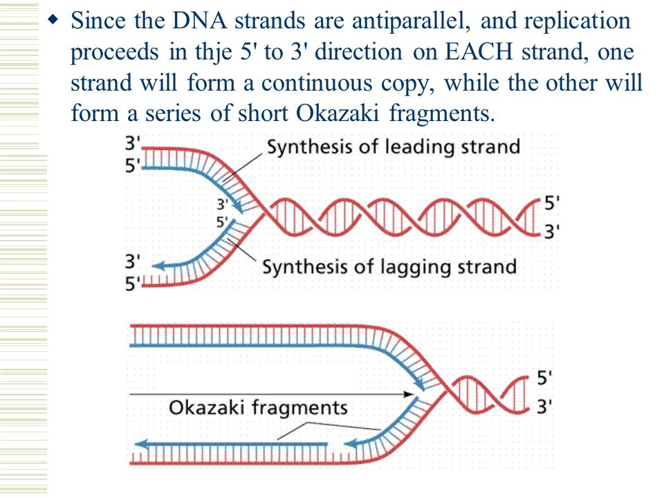 Since the DNA strands are antiparallel, and replication proceeds in thje 5 to 3 direction on EACH strand, one strand will form a continuous copy, while the other will form a series of short Okazaki fragments.