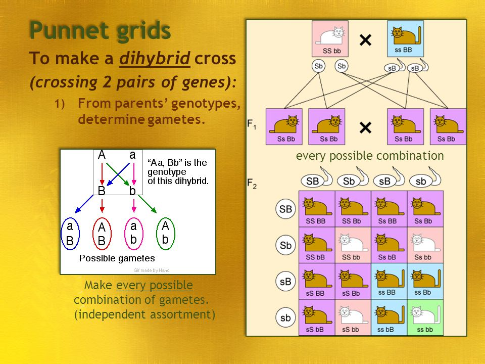 Punnet grids To make a dihybrid cross (crossing 2 pairs of genes):
