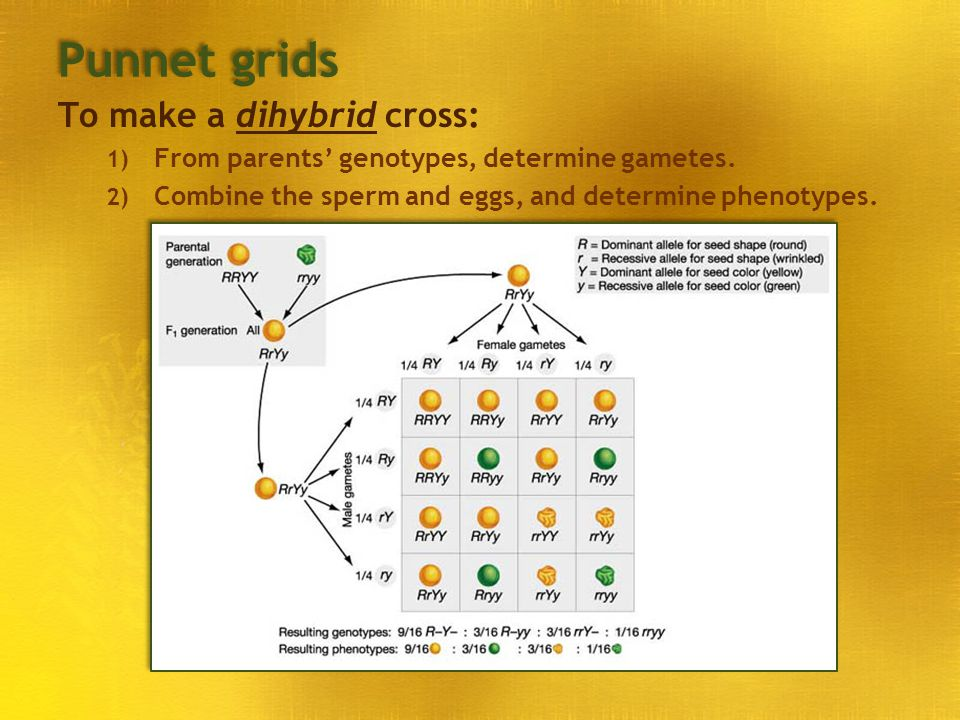 Punnet grids To make a dihybrid cross: