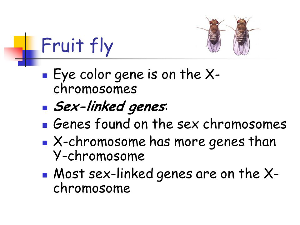 Fruit fly Eye color gene is on the X-chromosomes Sex-linked genes: