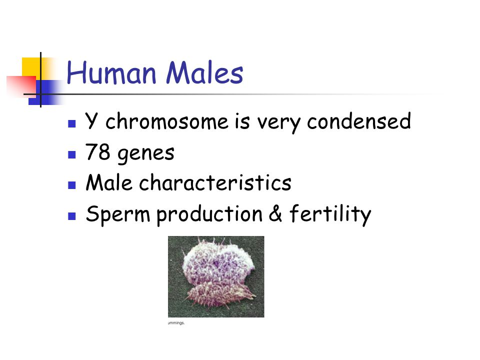 Human Males Y chromosome is very condensed 78 genes