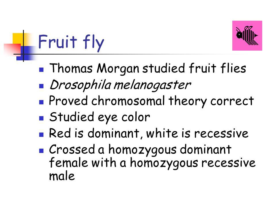 Fruit fly Thomas Morgan studied fruit flies Drosophila melanogaster