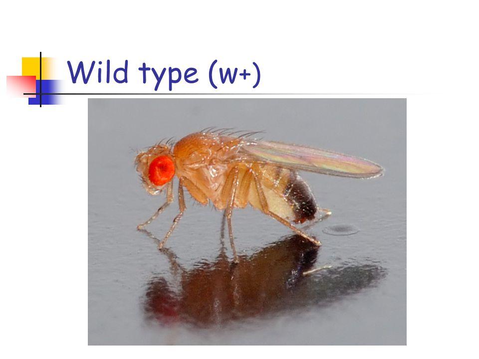 Wild type (w+)