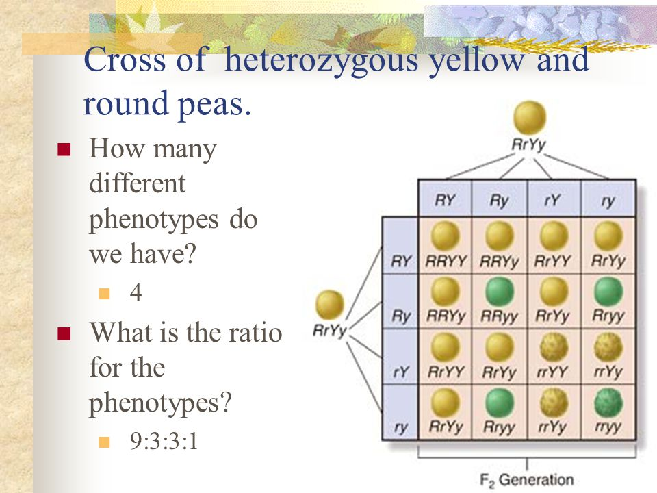 Cross of heterozygous yellow and round peas.