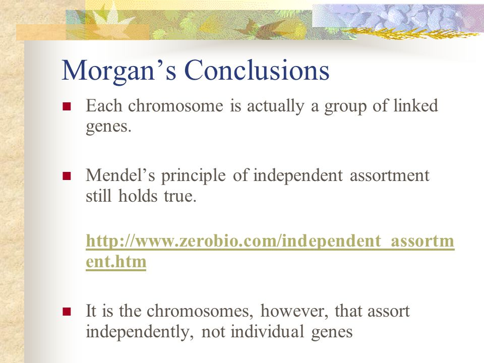 Morgan's Conclusions Each chromosome is actually a group of linked genes. Mendel's principle of independent assortment still holds true.