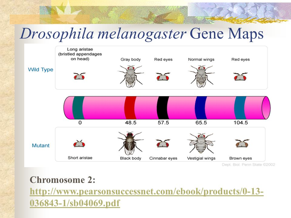Drosophila melanogaster Gene Maps
