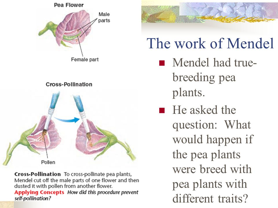 The work of Mendel Mendel had true- breeding pea plants.