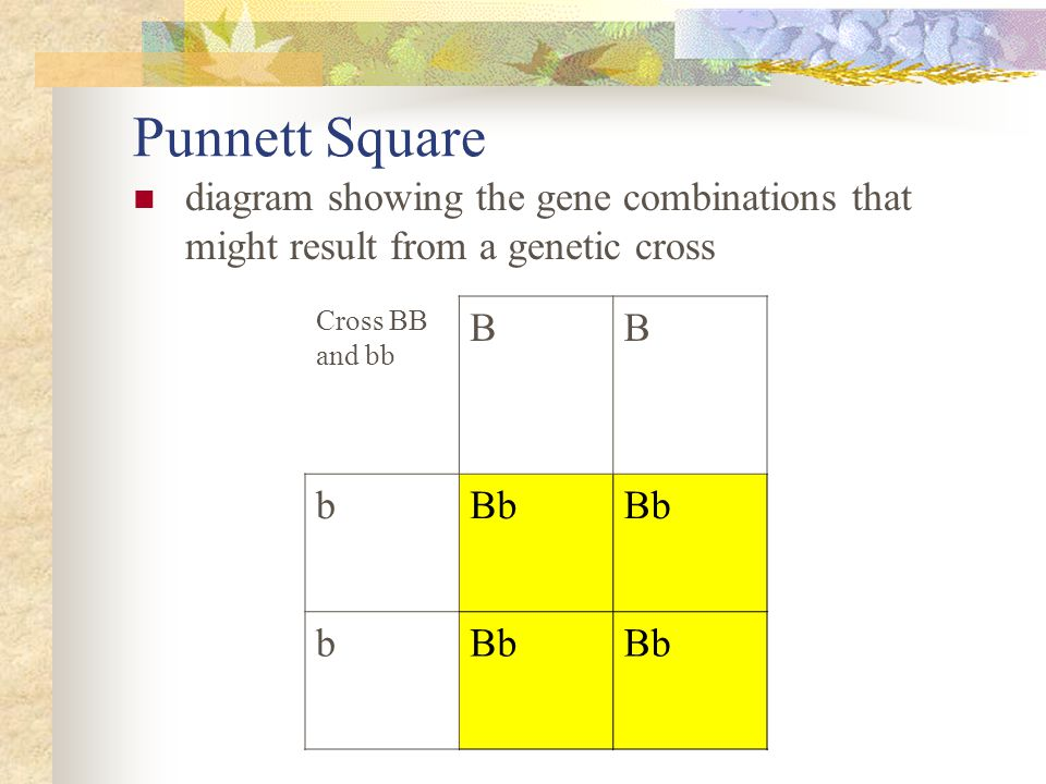 Punnett Square diagram showing the gene combinations that might result from a genetic cross. Cross BB and bb.