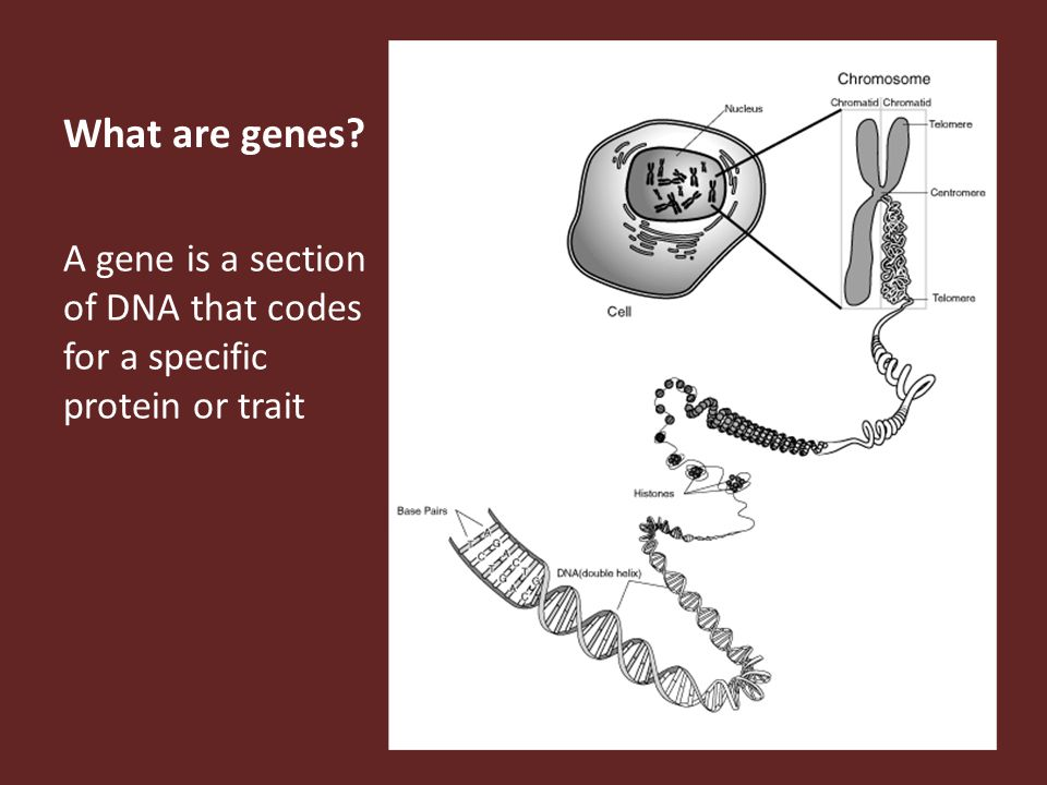 What are genes A gene is a section of DNA that codes for a specific protein or trait
