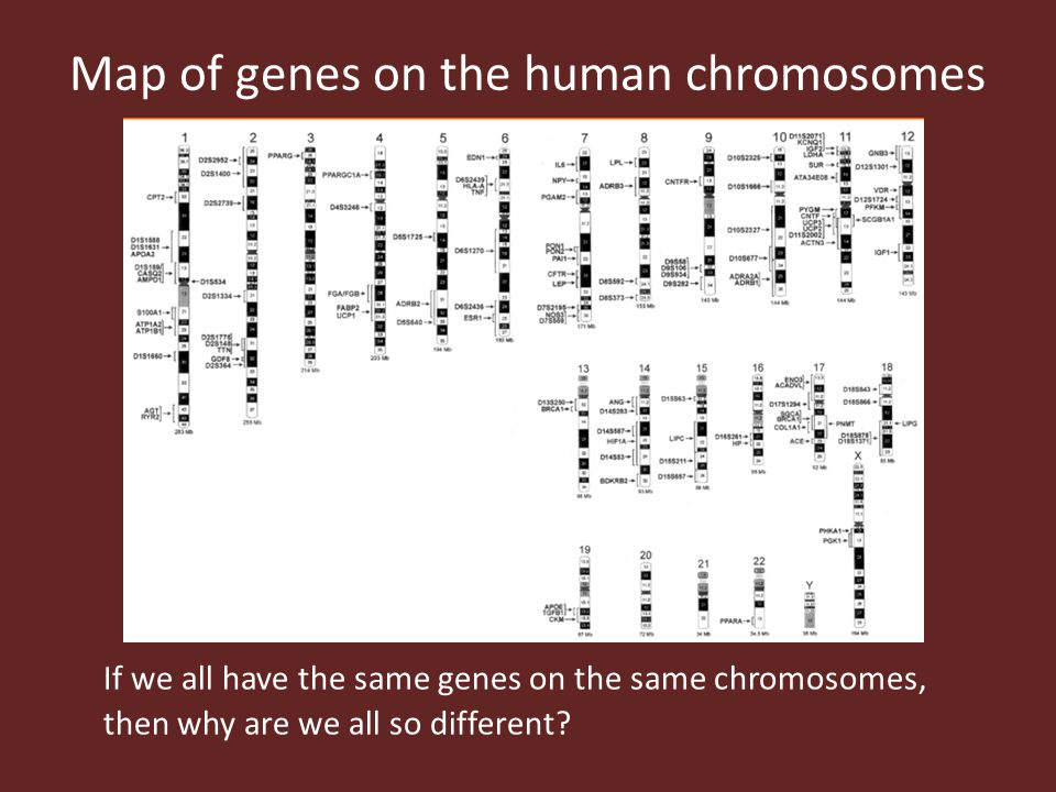 Map of genes on the human chromosomes