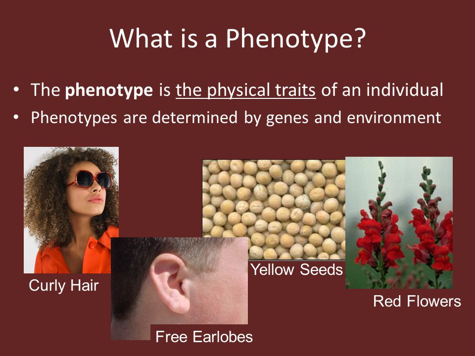 What is a Phenotype The phenotype is the physical traits of an individual. Phenotypes are determined by genes and environment.