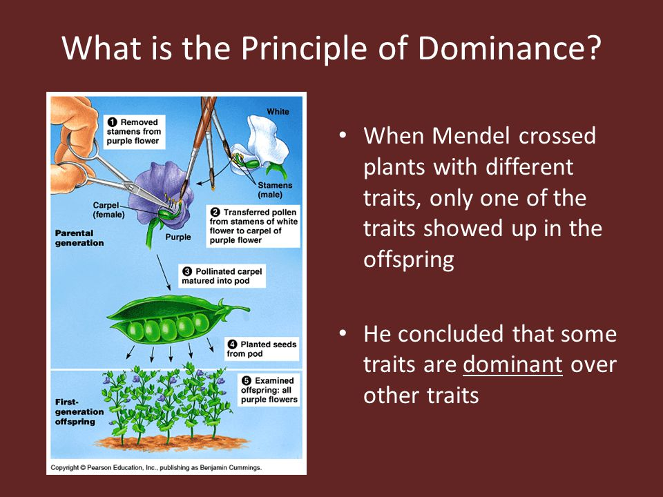 What is the Principle of Dominance