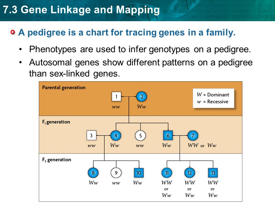 A pedigree is a chart for tracing genes in a family.
