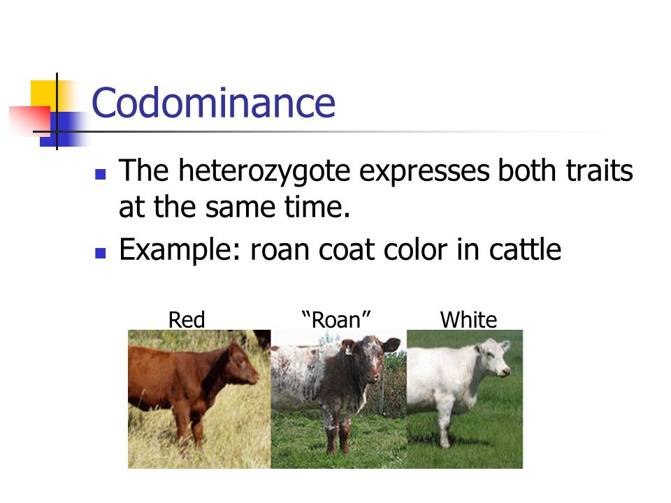 Codominance The heterozygote expresses both traits at the same time.