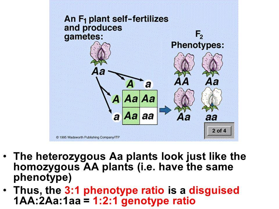 The heterozygous Aa plants look just like the homozygous AA plants (i