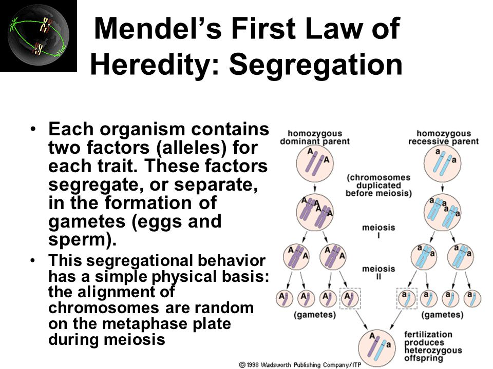 Mendel's First Law of Heredity: Segregation