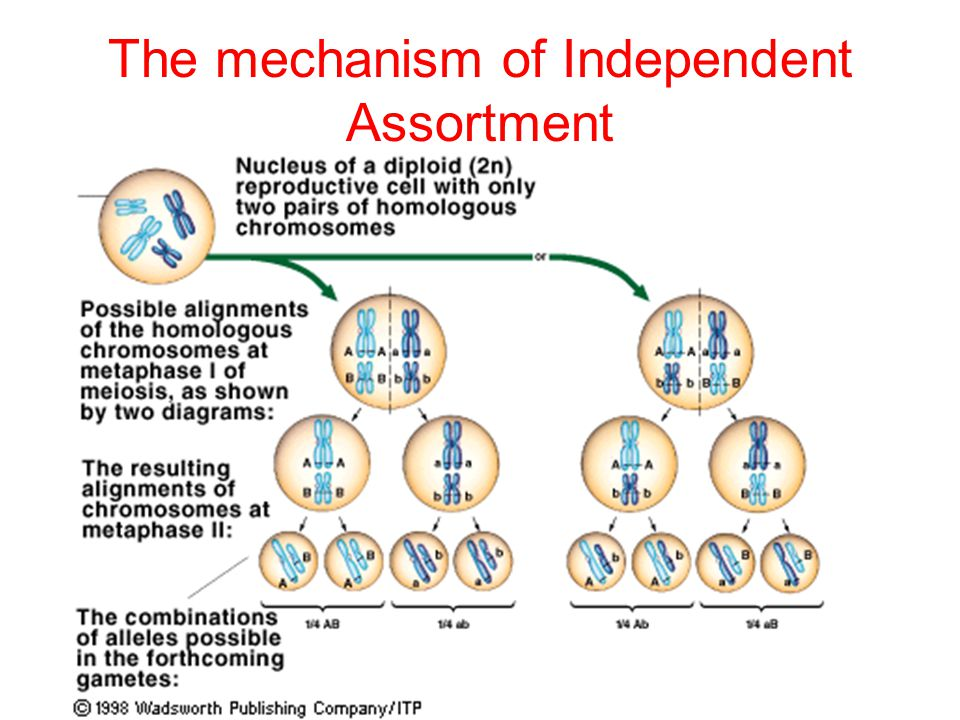 The mechanism of Independent Assortment